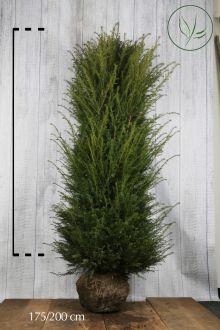 Taxus baccata Kluit 180-200 cm Extra kwaliteit