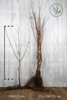 Veldesdoorn of Spaanse Aak Blote wortel 100-125 cm Extra kwaliteit