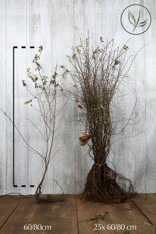 Sleedoorn Blote wortel 60-80 cm