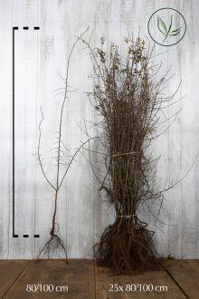 Sleedoorn Blote wortel 80-100 cm