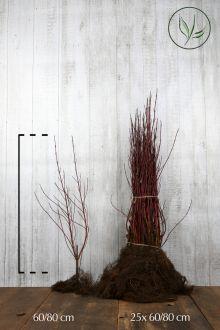 Bonte Kornoelje Blote wortel 60-80 cm