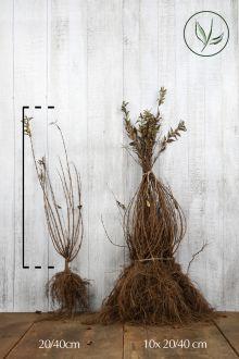 Bruidsbloem Blote wortel 20-40 cm
