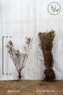 Heesterganzerik 'Abbotswood' Blote wortel 30-50 cm