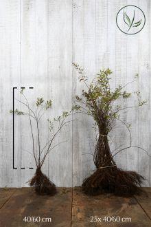 Spierstruik 'Grefsheim' Blote wortel 40-60 cm