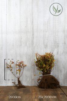 Japanse spierstruik 'Goldflame' Blote wortel 20-30 cm