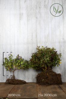 Japanse spierstruik 'Anthony Waterer' Blote wortel 20-30 cm