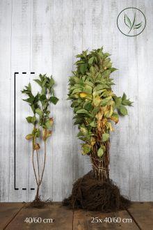 Weigela 'Rosea' Blote wortel 40-60 cm