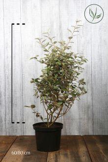 Olijfwilg, Zilverbes Pot 60-80 cm