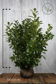 Laurier 'Novita' Kluit 100-125 cm Extra kwaliteit