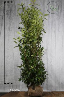 Laurier 'Caucasica'  Kluit 175-200 cm Extra kwaliteit