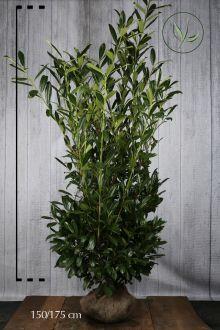 Laurier 'Herbergii'  Kluit 150-175 cm Extra kwaliteit