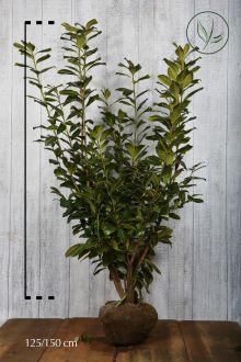 Laurier 'Novita' Kluit 125-150 cm Extra kwaliteit