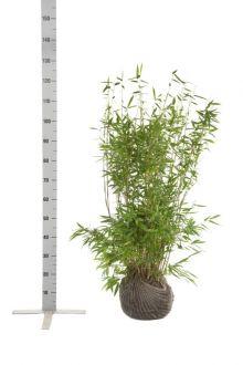 Fargesia 'Jumbo' Kluit 80-100 cm