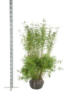 Fargesia 'Jumbo' Kluit 125-150 cm