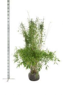 Fargesia 'Jumbo' Kluit 150-175 cm