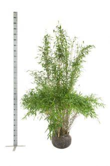 Fargesia 'Jumbo' Kluit 175-200 cm
