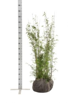 Fargesia jiuzhaigou Kluit 100-125 cm