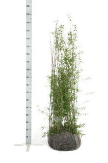 Fargesia jiuzhaigou Kluit 125-150 cm