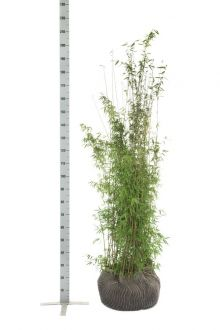 Fargesia jiuzhaigou Kluit 150-175 cm