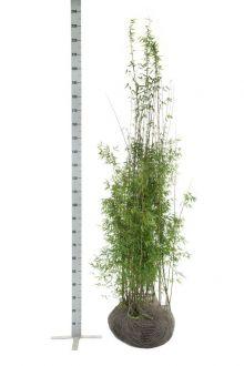Fargesia jiuzhaigou Kluit 175-200 cm
