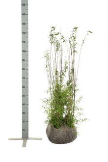Fargesia jiuzhaigou Kluit 80-100 cm
