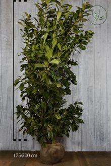 Laurier 'Novita' Kluit 175-200 cm Extra kwaliteit