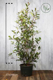 Glansmispel 'Red Robin' Pot 175-200 cm Extra kwaliteit