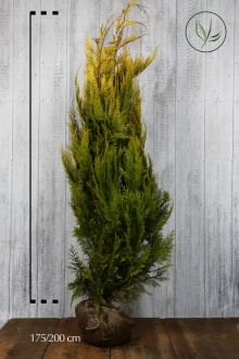 Gele Californische cipres Kluit 175-200 cm
