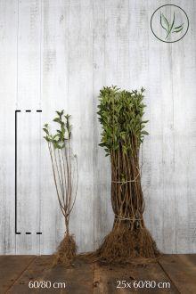 Haagliguster Blote wortel 60-80 cm