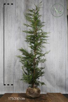 Leylandii conifeer Kluit 175-200 cm