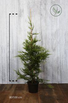 Gele Leylandii conifeer Pot 80-100 cm