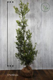 Hulst 'Alaska'  Kluit 175-200 cm