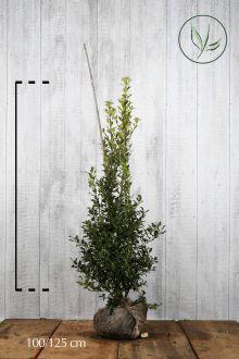 Hulst 'Alaska'  Kluit 100-125 cm