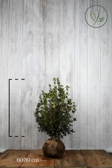 Schijnhulst 'heterophyllus' Kluit 60-80 cm