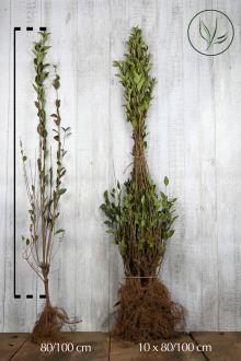 Haagliguster Blote wortel 80-100 cm