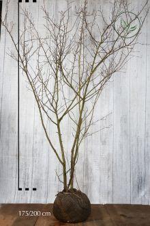 Krentenboom Kluit 175-200 cm