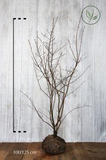 Krentenboom Kluit 100-125 cm