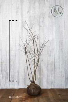 Krentenboom Kluit 80-100 cm