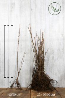 Krentenboom Blote wortel 60-80 cm