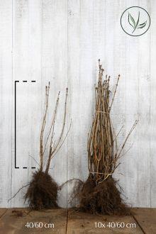 Gewone sering Blote wortel 40-60 cm