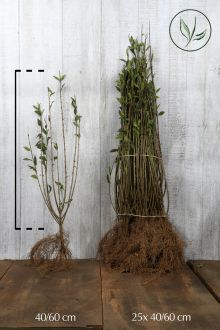 Wintergroene Liguster 'Atrovirens' Blote wortel 40-60 cm