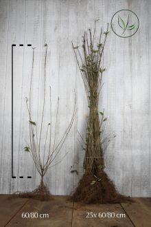 Wintergroene Liguster 'Atrovirens' Blote wortel 60-80 cm