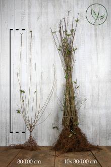 Wintergroene Liguster 'Atrovirens' Blote wortel 80-100 cm