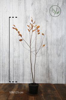 Krentenboom Pot 100-125 cm