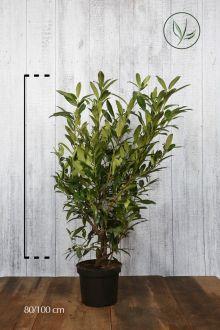 Laurier 'Herbergii'  Pot 80-100 cm