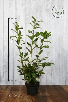 Laurier 'Novita' Pot 80-100 cm