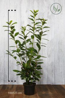 Laurier 'Novita' Pot 100-125 cm