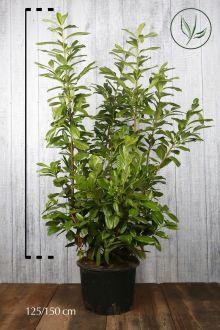 Laurier 'Novita' Pot 125-150 cm