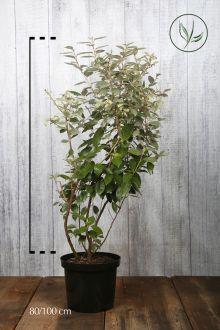 Olijfwilg, Zilverbes Pot 80-100 cm