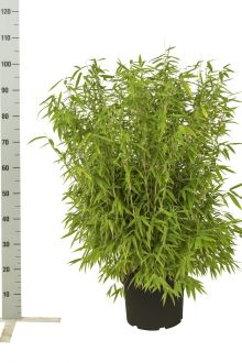 Fargesia 'Jumbo' Pot 60-80 cm